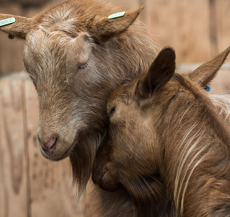 Two goats nuzzling